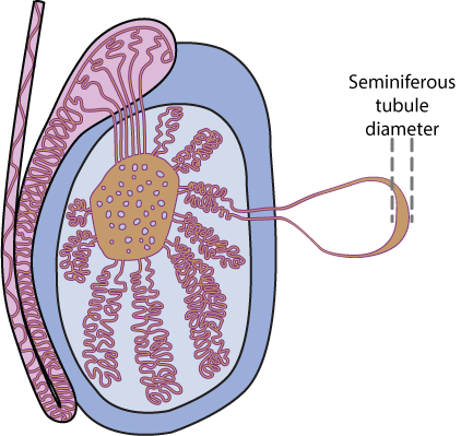 Male reproduction